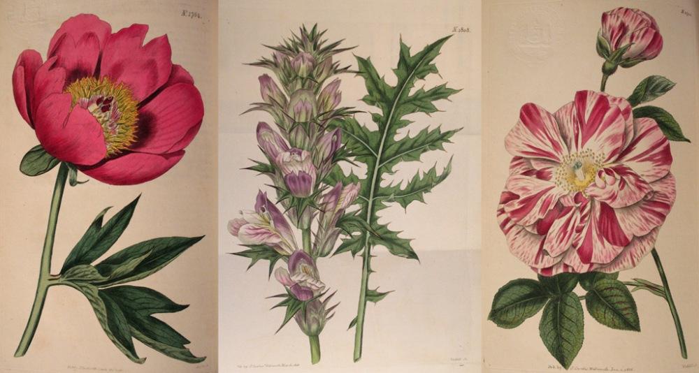 Curtis's Botanical Magazine Vol. 43 1816