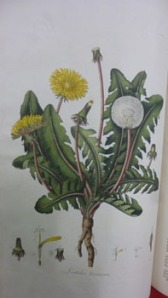 The common dandelion or Leontodo Taraxacum  from Curtis's Botanical Magazine