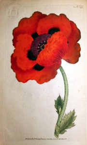 Papaver Orientale or Eastern Poppy