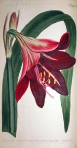 Amaryllis Reginæ or Mexican Lily.
