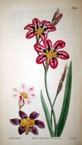 Sparaxis Tricolor or Three Coloured Sparaxis