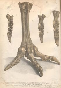 "Illustration from Mantell's Atlas of ""the bones of the right foot of the Moa, or extinct colossal Ostrich-like bird of New Zealand"