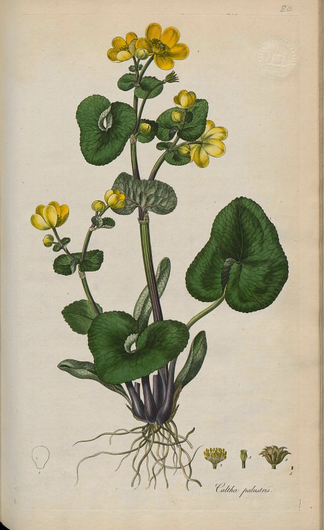 Image from Volume 1 of Curtis's Flora Londinensis