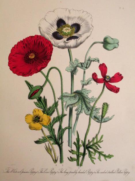 Illustration of three poppies from Mrs Loudon's British Wild Flowers (1850)